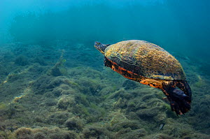 Florida red-bellied cooter (Pseudemys nelsoni) swims over a riverbed. Crystal River, Florida, United States of America. - Alex  Mustard