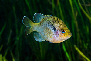 Spotted sunfish (Lepomis punctatus) in front of plants in Rainbow River, Florida, United States of America.  -  Alex  Mustard