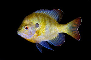 Portrait of Bluegill (Lepomis macrochirus). Rainbow River, Florida, USA.  -  Alex  Mustard
