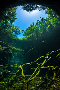 Old tree branches on the floor of Cenote pool, beneath the forest canopy with Snell's Window effect. Puerto Aventuras, Quintana Roo, Mexico.  -  Alex  Mustard