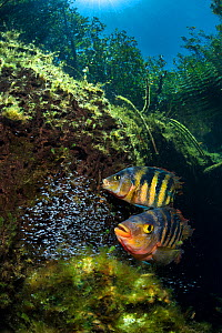 Pair of Mayan cichlids (Cichlasoma urophthalmus) guard their fry in a shallow cenote pool, beneath the forest canopy. Puerto Aventuras, Quintana Roo, Mexico.  -  Alex  Mustard