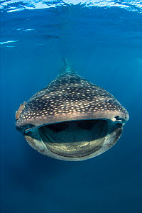Whaleshark (Rhincodon typus) swimming and filtering fish eggs from the water. A behaviour known as ram-feeding. Isla Mujeres, Quintana Roo, Yucatan Peninsular, Mexico. Caribbean Sea.  -  Alex Mustard,Alex  Mustard