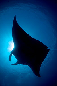 RF- Silhouette of Reef manta (Manta alfredi) Misool, Raja Ampat, West Papua, Indonesia. Ceram Sea, Tropical West Pacific Ocean. (This image may be licensed either as rights managed or royalty free.) - Alex Mustard