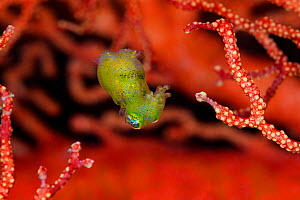 Tiny, nocturnal, undescribed species of pygmy squid (Idiosepius) swimming between the branches of a seafan. Misool, Raja Ampat, West Papua, Indonesia. Ceram Sea, Tropical West Pacific Ocean.  -  Alex  Mustard