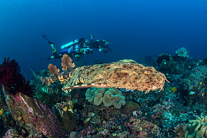 Divers watch a Tassled wobbegong shark (Eucrossorhinus dasypogon) as it swims over Coral reef. Raja Ampat, West Papua, Indonesia. Tropical West Pacific Ocean. - Alex  Mustard