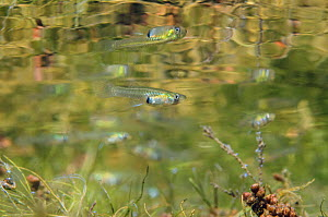 Female Mosquito fish (Gambusia affinis) swimming above weeds, below the surface of Lago Baratz, Sardinia, Italy. This species is originally from the Americas, but has been introduced into many countri... - Alex  Mustard