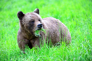 Grizzly bear (Ursus arctos horribilis) female feeding on Lyngby's sedges (Carex lyngbyei) her most important food source with high crude protein content in spring, Khutzeymateen Grizzly Bear Sanctuary...  -  Eric Baccega