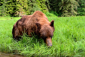 Grizzly male (Ursus arctos horribilis) feeding on Lyngby's sedges (Carex lyngbyei) his most important food source with high crude protein content in spring, Khutzeymateen Grizzly Bear Sanctuary, Briti...  -  Eric Baccega