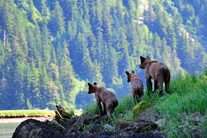 Grizzly bear (Ursus arctos horribilis) femaleand her two cubs looking warily across the water, toward the opposite bank, Khutzeymateen Grizzly Bear Sanctuary, British Columbia, Canada, June 2013. - Eric Baccega