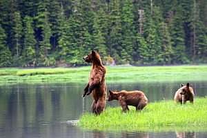 Grizzly bear (Ursus arctos horribilis) female and her two cubs watching warily across the water, toward the opposite bank where they would like to swim, Khutzeymateen Grizzly Bear Sanctuary, British C... - Eric Baccega