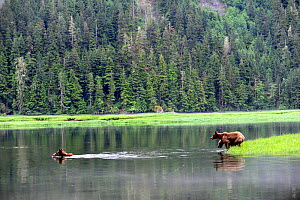 Female grizly bear (Ursus arctos horribilis) crossing water, followed by her two cubs, Khutzeymateen Grizzly Bear Sanctuary, British Columbia, Canada, June. - Eric Baccega