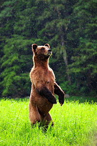 Female Grizzly bear (Ursus arctos horribilis) standing up in alert and looking around under the rain, Khutzeymateen Grizzly Bear Sanctuary, British Columbia, Canada, June. - Eric Baccega