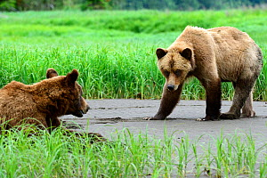Male and female Grizzly bear courtship (Ursus arctos horribilis) Khutzeymateen Grizzly Bear Sanctuary, British Columbia, Canada, June. - Eric Baccega