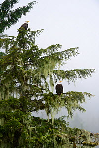 Bald eagles (Haliaeethus leucocephalus) perched in a Sitka spruce (Picea sitchensis) Khutzeymateen Grizzly Bear Sanctuary, British Columbia, Canada, June. - Eric Baccega