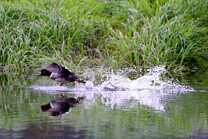 Common Goldeneye (Bucephala clangula)  duck taking off from water, Khutzeymateen Grizzly Bear Sanctuary, British Columbia, Canada, June. - Eric Baccega
