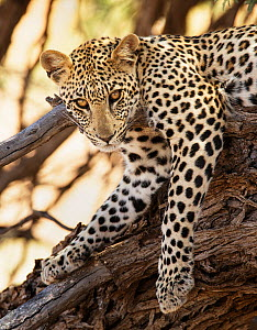RF- Leopard (Panthera pardus) Kgalagadi Transfrontier Park, South Africa, January. (This image may be licensed either as rights managed or royalty free.)  -  Tony Heald