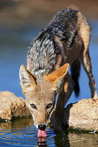Black-backed Jackal (Canis mesomelas) drinking, Kgalagadi Transfrontier Park, South Africa. January - Tony Heald