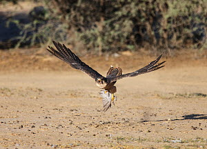 Lanner Falcon (Falco biarmicus) flying with dove prey, Kgalagadi Transfrontier Park, South Africa. January - Sharon Heald