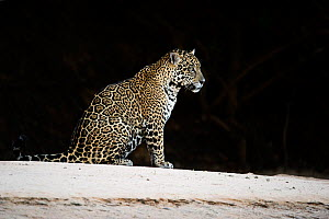 Jaguar (Panthera onca) sitting at night, Mato Grosso, Brazil  -  Ben  Cranke
