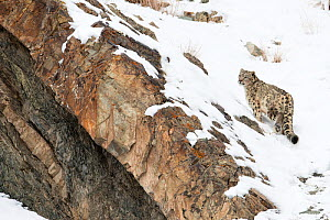 Snow Leopard (Uncia uncia) walking down snow covered slope, Hemas National Park, Ladakh, India - Ben  Cranke
