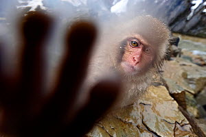 Japanese Macaque (Macaca fuscatata) juvenile, reaching out to touch the camera,  Jigokudani, Nagano Prefecture, Honshu, Japan - Ben Cranke,Ben  Cranke
