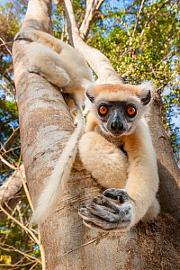 Golden-crowned Sifaka or Tattersall's Sifaka (Propithecus tattersalli) climbing down tree in forests near Andranotsimaty, Daraina, north east Madagascar. Critically Endangered.  -  Nick Garbutt