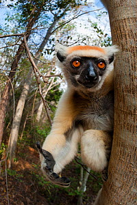 Golden-crowned Sifaka or Tattersall's Sifaka (Propithecus tattersalli) in forest near Andranotsimaty, Daraina, north east Madagascar. Critically Endangered. - Nick Garbutt