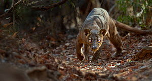 Adult male Fosa (Crytoprocta ferox) prowling on deciduous forest floor. Kirindy Forest, western Madagascar. - Nick Garbutt