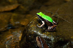 Marojejy Green-backed Mantella Frog (Mantella manery) on rock in lowland rainforest stream. Marojejy National Park, north east Madagascar.  -  Nick Garbutt