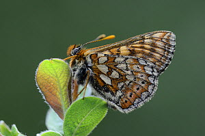 Marsh Fritillary Butterfly (Euphydryas aurinia) at rest, Dorset, UK, June. - Colin Varndell