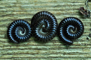White Legged Snake Millipede (Tachypodoiulus niger) three coiled, Dorset, UK, September. - Colin Varndell,Colin Varndell