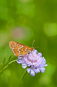Marsh Fritillary butterfly (Euphydryas aurinia) feeding on nectar from Small Scabious (Scabiosa columbaria), Picos de Europa, northern Spain. June - Adrian Davies