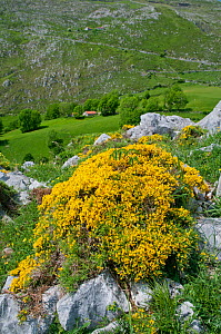 Spanish Broom (Genista hispanica) in flower, Picos de Europa, northern Spain.  -  Adrian Davies