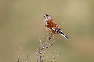 Linnet (Carduelis cannabina) male perched in field, Wirral, Merseyside, UK, April. - Alan Williams