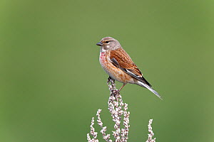 Linnet (Carduelis cannabina) male perched in field, Wirral, Merseyside, UK, May. - Alan Williams