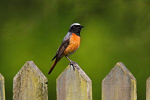 Common Redstart (Phoenicurus phoenicurus) male perched on cottage garden gate, North Wales, UK, June. - Alan Williams