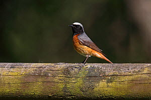 Common Redstart (Phoenicurus phoenicurus) male perched on fence in cottage garden, North Wales, UK, June. - Alan Williams