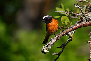 Common Redstart (Phoenicurus phoenicurus) male looking out for prey in woodland, North Wales, UK, June. - Alan Williams
