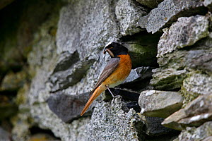 Common Redstart (Phoenicurus phoenicurus) male perched at nest entrance in wall of old building with food for young, North Wales, UK, June. - Alan Williams