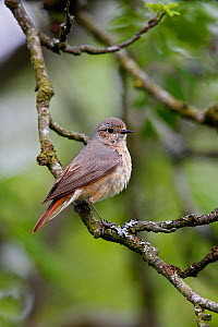 Common Redstart (Phoenicurus phoenicurus) female perched in woodland, North Wales, UK, June. - Alan Williams