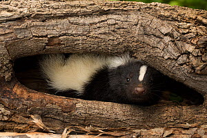 Striped skunk (Mephitis mephitis) in tree hollow, Ithaca, New York, May - John Cancalosi
