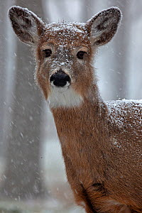 White-tailed deer (Odocoileus virginianus) in snow, New York, USA, winter - John Cancalosi