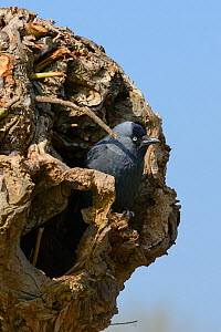 Jackdaw (Corvus monedula) standing at the entrance to its nest hole in a pollarded willow trunk, Gloucestershire,UK, April.  -  Nick Upton