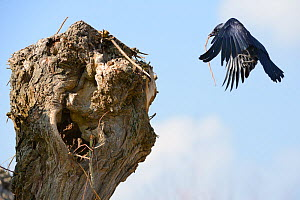 Jackdaw (Corvus monedula) flying to its nest hole in a pollarded willow trunk with a stick, Gloucestershire,UK, April.  -  Nick Upton