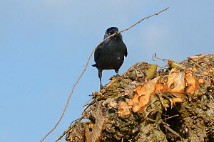 Jackdaw (Corvus monedula) with a bramble stick approaching its nest hole in a recently pollarded willow trunk, Gloucestershire, UK, April.  -  Nick Upton