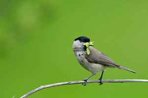 Marsh tit (Poecile palustris) with beakful of green caterpillars, Wiltshire hedgerow, UK, June.  -  Nick Upton