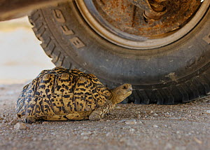 Leopard Tortoise (Geochelone pardalis pardalis) finding shade under a vehicle. Kgalagadi Transfrontier Park, South Africa. January  -  Tony Heald