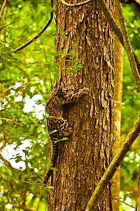 Clouded leopard (Neofelis nebulosa) climbing tree, Assam, India, captive.  -  Sandesh Kadur