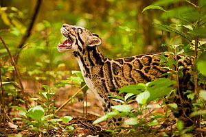 Clouded leopard (Neofelis nebulosa) in profile with mouth open, Assam, India, captive.  -  Sandesh Kadur