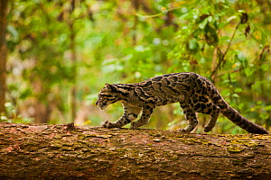 Clouded leopard (Neofelis nebulosa) walking along fallen tree trunk, Assam, India, captive. Vulnerable species.  -  Sandesh  Kadur